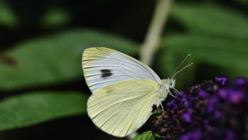 butterfly, green-veined white, insect-6484906.jpg